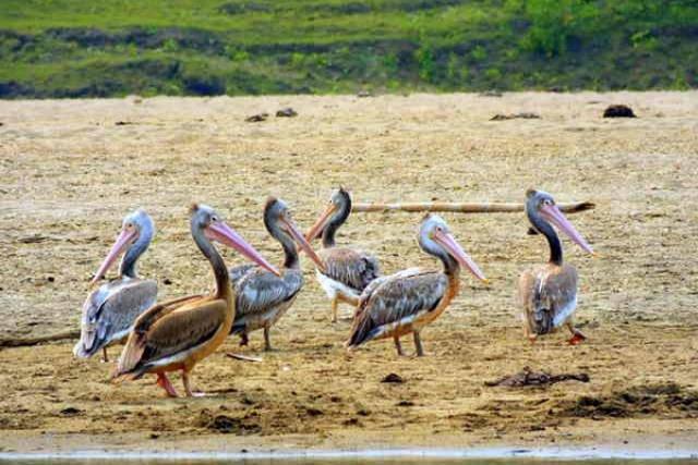spot-billed-pelican0A179C1A-1407-B8B0-A755-3A012647E7E9.jpg
