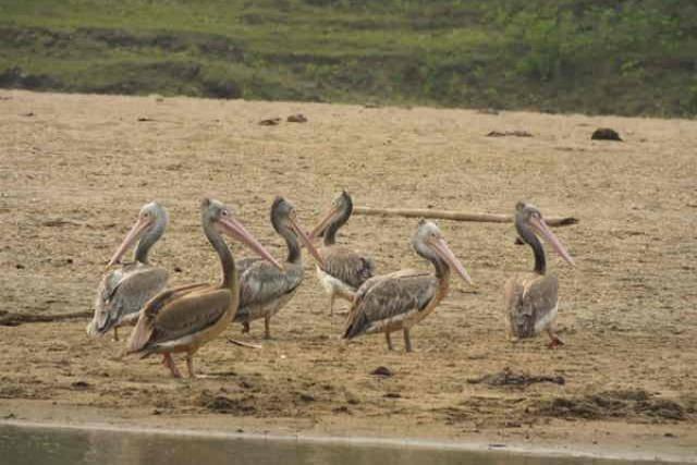 spot-billed-pelicanFB9F79C4-EF65-095D-577C-CE69980E90CB.jpg